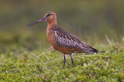 Bar-tailed_Godwit